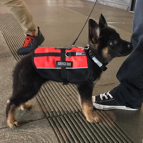 #6 And The Winner For Cutest Service Dog Goes To - 10 Puppies On Their First Days Of Work That Will Make Your Day