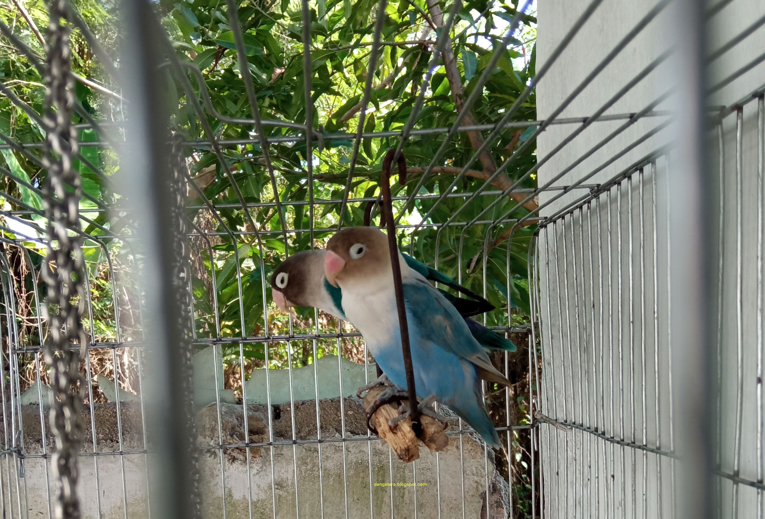 Cara Merawat Lovebird  agar Gacor dan Ngekek Aktif