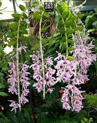Mengenal  Dendrobium anosmum (Anggrek Dupa) Beraroma Harum