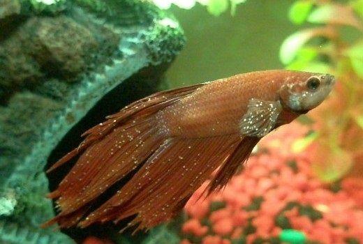 Cara Mengatasi Penyakit White Spot Pada Ikan Hias
