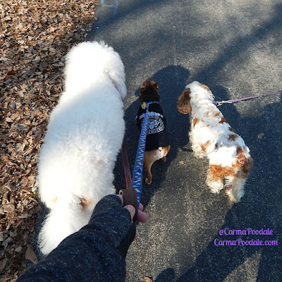 Poodle, chihuahua and spaniel walking together