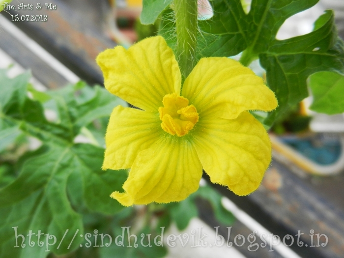 A male watermelon flower in yellow. Leaves in the backround.