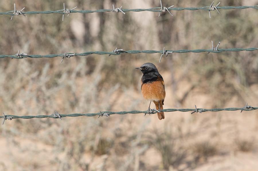 Semirufus Black-Redstart