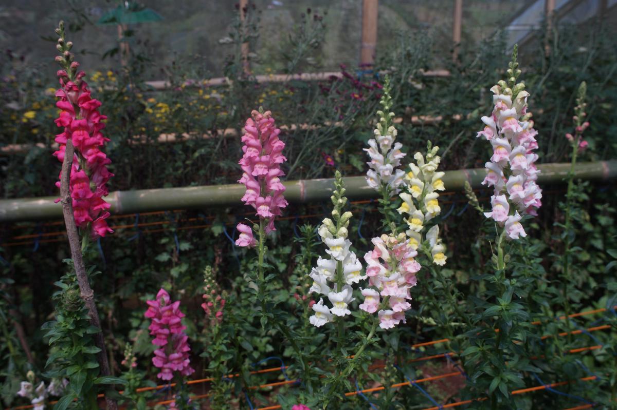 Bunga untuk Materi Hukum Genetika Mendel Snapdragon