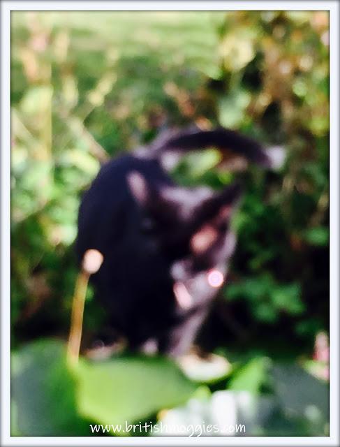 Friday Fluffers at BBHQ ©BionicBasil® www.britishmoggies Supurr Blurry Parsley