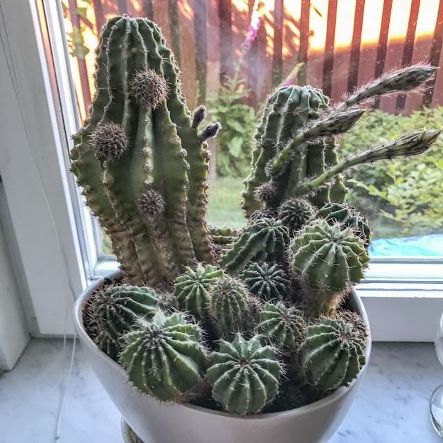kaktus, kaktusblommor
