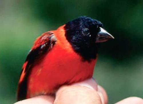 Red siskin - Spinus cucullatus