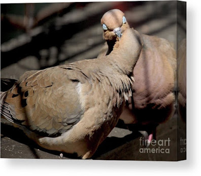 This is a screen shot of a canvas print which I'm selling on Fine Art America. It features two very amorous Mourning doves. Info is @ https://fineartamerica.com/featured/cooing-mourning-doves-1-patricia-youngquist.html?product=canvas-print