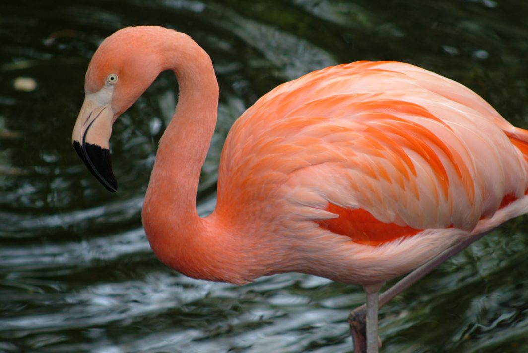 3d Iphone Wallpapers Free Flamingo Birds Wallpapers Asimbaba Free Software