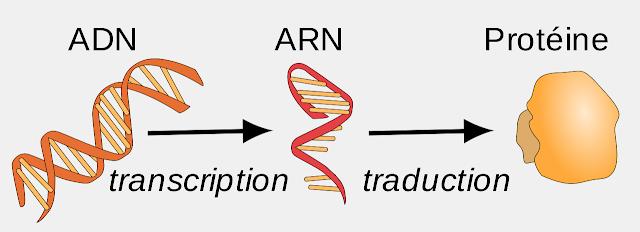 Biologie Moléculaire : La Transcription