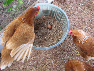 two hens and egg