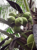 bunch of coconuts in a tree