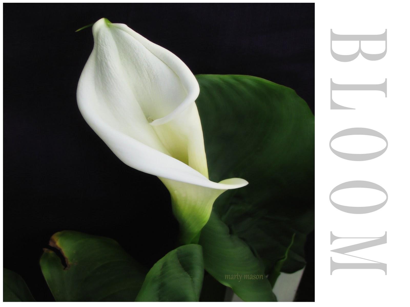 Martys fiber musings calla lily in my front garden calla lily izmirmasajfo