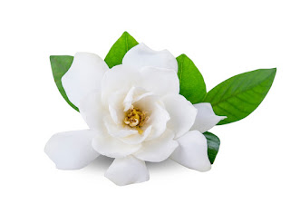 A single perfect Gardenia bloom.