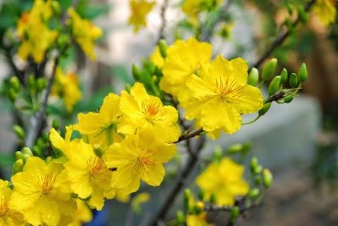 Nụ Mai Vàng Nở Rộ