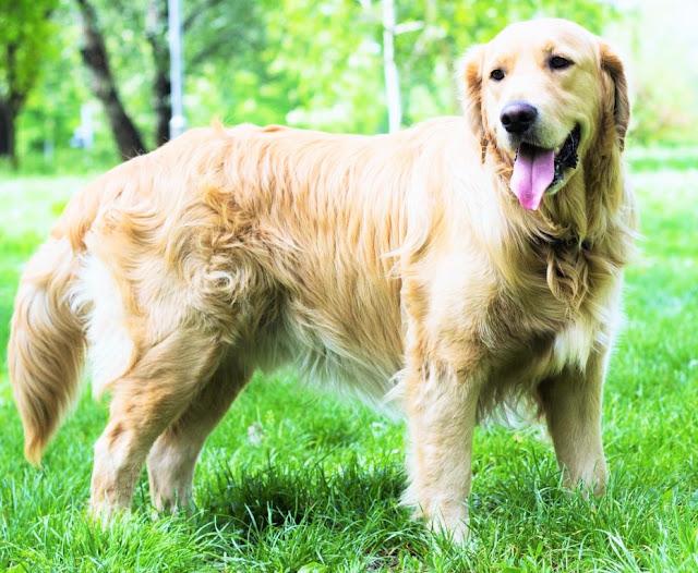 Golden Retriever www.worldetalk.com