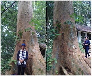 Makna dan Arti Pohon Jati