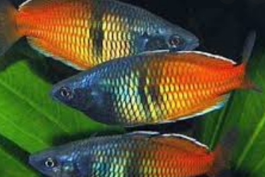 IKAN HIAS BOSEMANI RAINBOWFISH