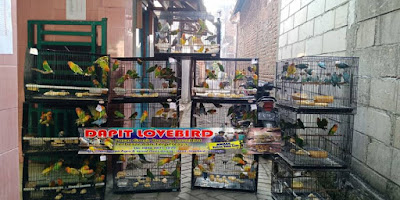 daftar harga lovebird grosir murah di jawa timur