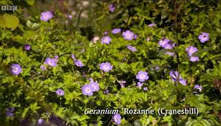 Herbaceous Geraniums