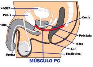 Exercícios de Kegel e músculo PC para controlar ejaculação precoce