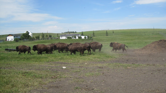 Canadian Rocky Mountain Ranch - Bison
