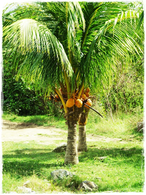 west-indian-dwarf-coconut-tree