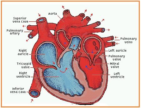 Gambar Lapisan Jantung