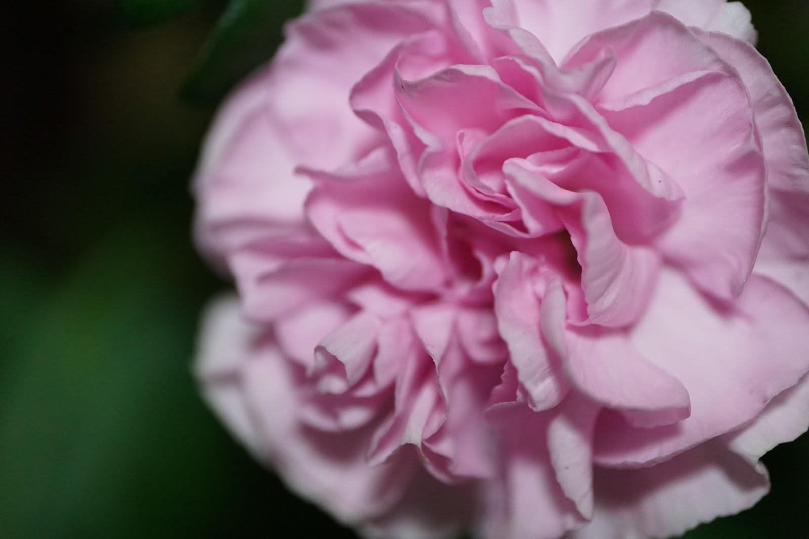 淡いピンクの小さめの花のマクロ撮影