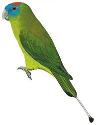 Prioniturus montanus