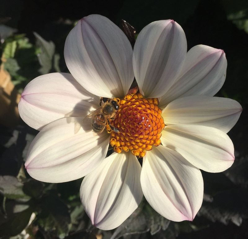 flor de dalia color blanco