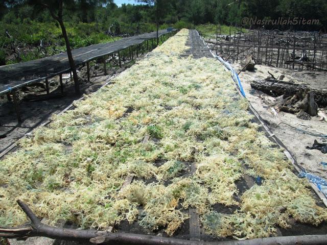 Rumput laut yang dijemur