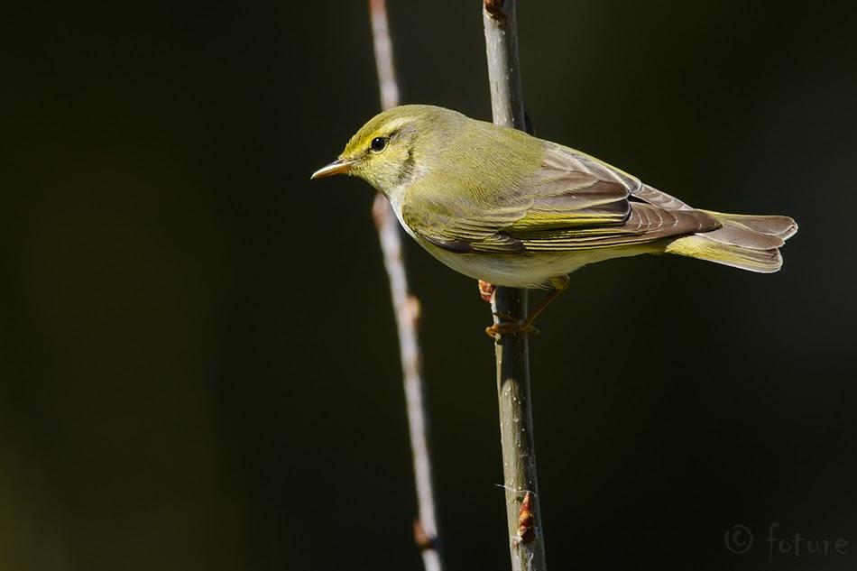 Mets-lehelind, Phylloscopus sibilatrix, Wood Warbler, Rhadina