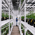 Fluence and Proper introduce advanced LED lighting to rising Midwestern cannabis market