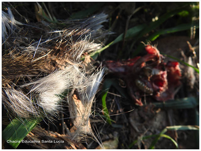 Cráneo de apereá y resto de pelaje-Chacra educativa Santa Lucía