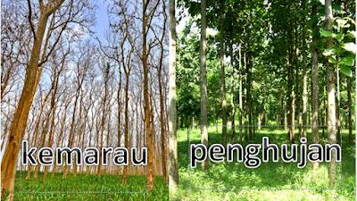 Tujuan Pohon Jati Menggugurkan Daunnya Saat Musim Kemarau Lengkap