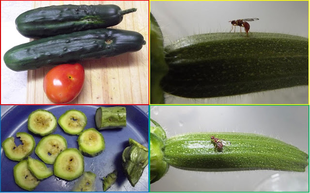 are cucumbers fruit lifespan of a fruit fly