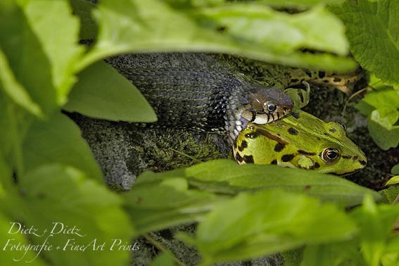 Barren-Ringelnatter (Natrix natrix helvetica) auf der Jagd