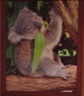 a picture of a koala eating a leaf