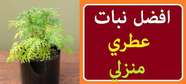 """""""النباتات التي تزرع في المنزل"""" """"أغلى النباتات الطبية"""" """"أفضل 10 نباتات طبية"""" """"نباتات عطرية طاردة للحشرات"""" """"نباتات عطرية للبلكونه"""" """"مواعيد زراعة النباتات العطرية"""" """"أسعار النباتات الطبية والعطرية"""" """"أنواع النباتات العطرية بالصور"""""""