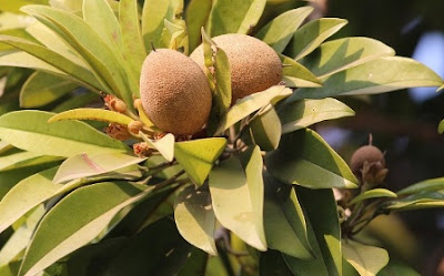 Benefits Of Sapodilla For Weight Loss