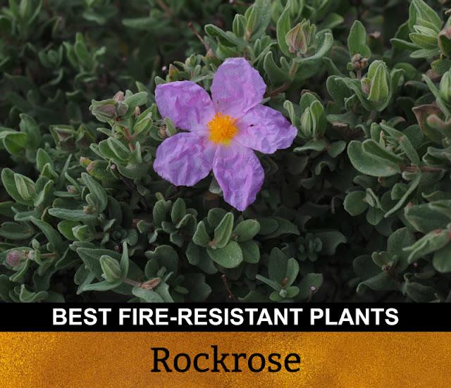 Best Fire Resistant Plants Rockrose