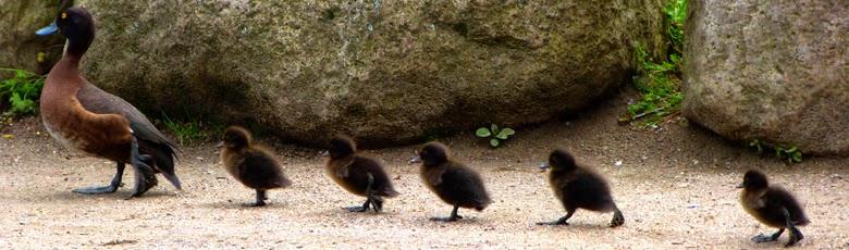 Entenfamilie, Küken laufen der Ente hinterher, Grugapark Essen