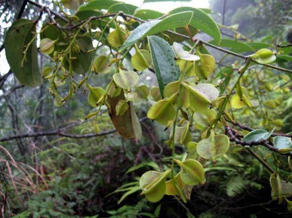 Quả cây Củ Nâu - Dioscorea cirrhosa - Nguyên liệu làm thuốc Chữa Đi Lỏng-Đau Bụng