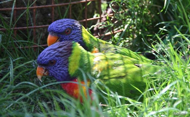 Loris arc-en-ciel, Parc des Oiseaux de Villars-les-Dombes
