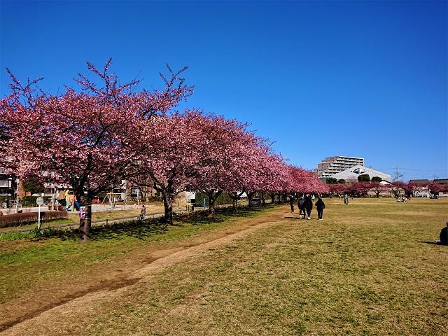 西志津スポーツ等多目的広場 河津桜