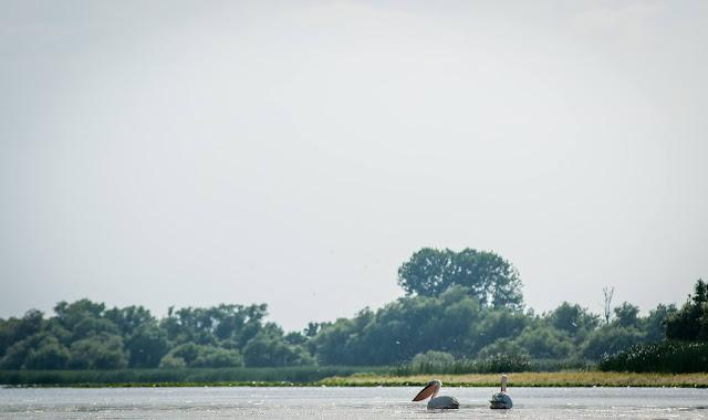 Pelicani, Lacul cu Cotete
