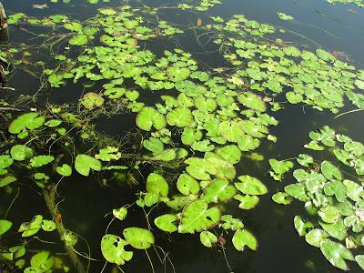 Benefits of Floating leaved aquatic plants