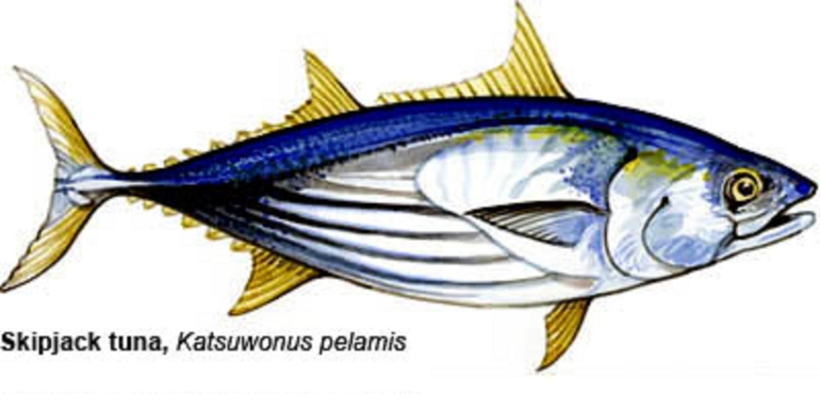 Peixe Bonito de Barriga Listrada (Katsuwonus pelamis)