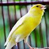 Download MP3 Gratis Suara Burung Kenari Juara Dan Gacor